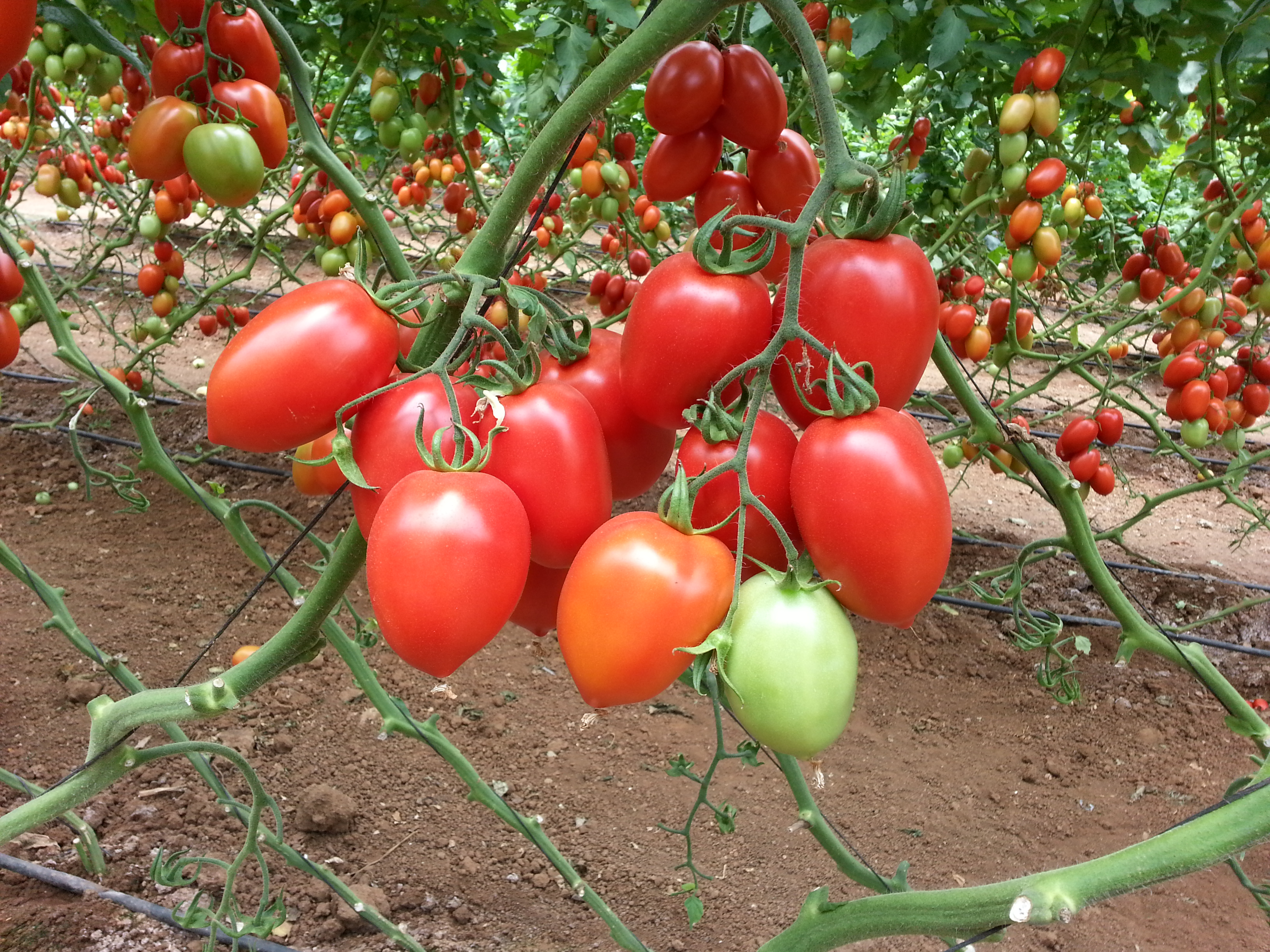 Tomato - Indeterminate Type   Shneor Seed Co